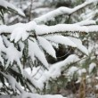Branches of winter spruce tree - Stock Photo