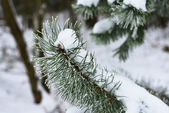 Branches of winter spruce tree — Stock Photo