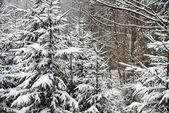 Jehličnany stromy — Stock fotografie