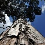 Tall pine — Stock Photo #20816987