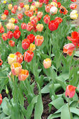 Red and yellow tulips — Foto Stock