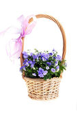 Campanula bellflowers — Stock Photo