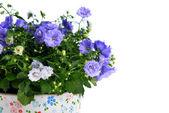 Campanula flowers — Stock Photo