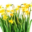 Yellow daffodils - Stock Photo