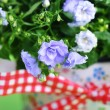 Campanula flowers - 