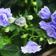 Campanula bellflowers — Stock Photo