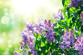 Purple lilac bush blooming in May day — Stock Photo
