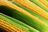 Kukuřičný klas — Stock fotografie