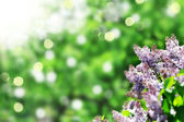 Purple lilacs — Stock Photo