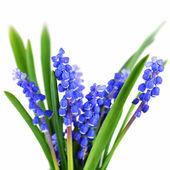 Niebieski hiacynty — Zdjęcie stockowe