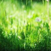 Одуванчик на траве — Стоковое фото
