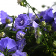 Campanula bellflowers — Stock Photo #25051829