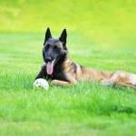 Dog Belgian malinois — Stock Photo #27248623