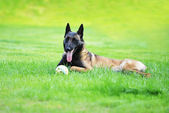 Dog Belgian malinois — Stock Photo
