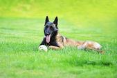 Dog Belgian malinois — Stock Photo