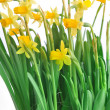 Yellow daffodils — Stock Photo #29718117