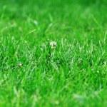 Flower of clover — Stock Photo #29718157