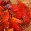 Wet leaves of maple — Stock Photo #29718451