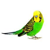 Portrait of budgerigar — Stock Photo