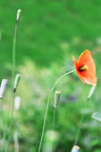 Red wild poppy — Stock Photo