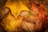 Leaves of maple — Stock Photo