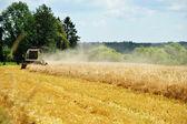 Grain harvest on field — Stock Photo