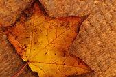Leaf of maple — Stock Photo