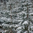 Evergreens  trees  — Stock Photo