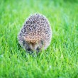 Hedgehog on green lawn — Stock Photo
