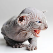 Cute bald baby cat close up — Stock Photo
