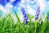 Hyacint blomma — Stockfoto