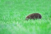 Hérisson sur pelouse verte — Photo