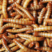 Many ugly worms — Stock Photo