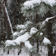 Stock Photo: Branches of winter spruce tree