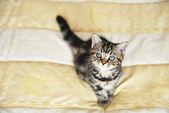 Tabby kitten — Stock Photo