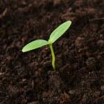 Green cucumber seedling — Stock Photo #44629343