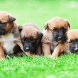 Puppies belgian shepherd malinois — Stock Photo