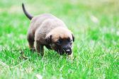 Puppies belgian shepherd malinois — Stock Photo