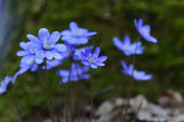 Blue flowers — Stock Photo