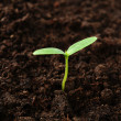 Green cucumber seedling — Stock Photo #44788881