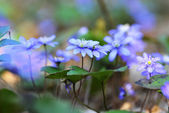 Blossoming hepatica — Stock Photo