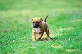 Puppy belgische herder — Stockfoto