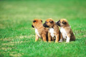 Belgian shepherd Puppies — Stock Photo