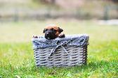 Puppy in wicker basket — Stock Photo