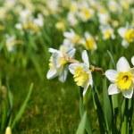 White daffodil — Stock Photo #47789303