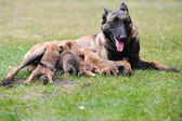 Female dog  with puppies — Stock Photo