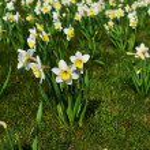 White daffodil — Stock Photo #48303985
