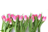 Pink tulips — Stock Photo