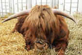 Highland cow — Stock Photo