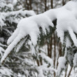 Branches of winter spruce tree — Stock Photo #50791121